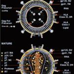 HIVウイルス